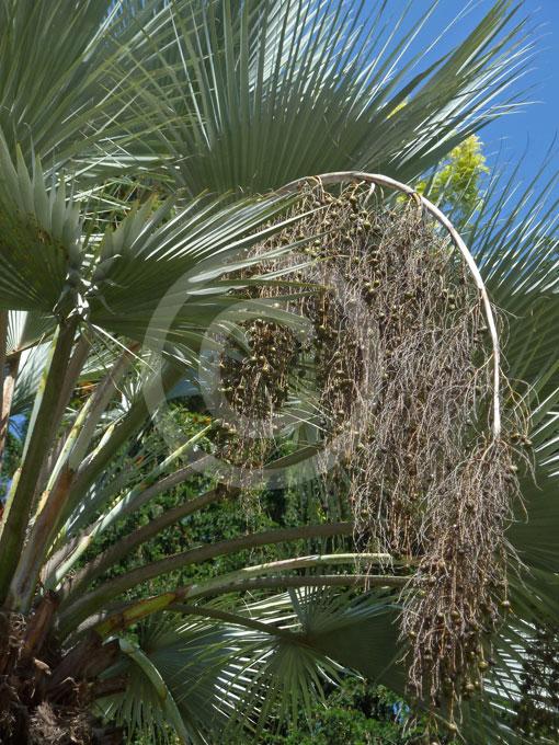 Brahea Armata Mexican Blue Hesper Palm Mexican Blue Fan