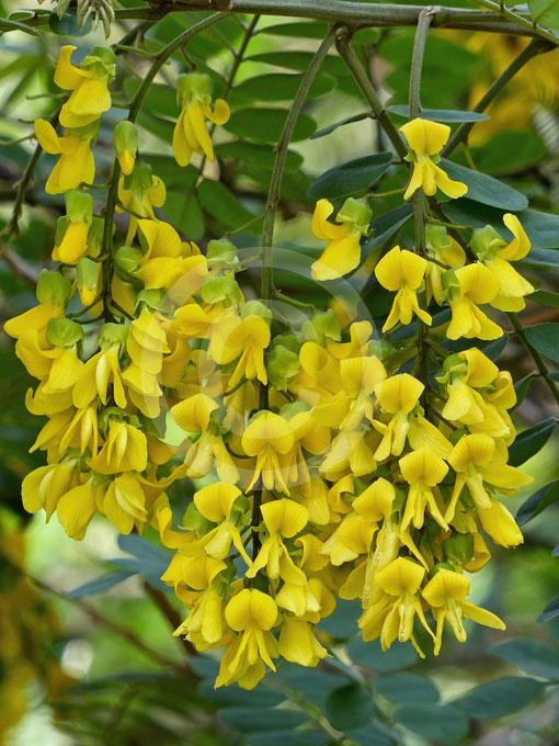 Calpurnia Aurea Natal Laburnum East African Laburnum