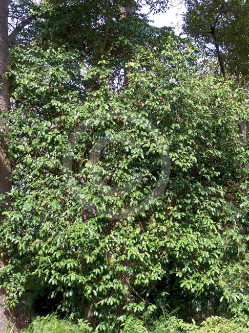 Capparis Arborea Bush Caper Berry Australian