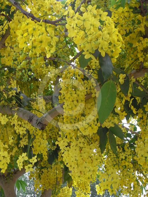 Cassia fistula | Golden Shower Tree, Golden Rain Tree, Indian Laburnum ...