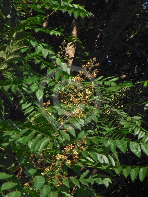 http://www.plantthis.com.au/images/x_images/plants/11330/Chukrasia-tabularis-main.jpg