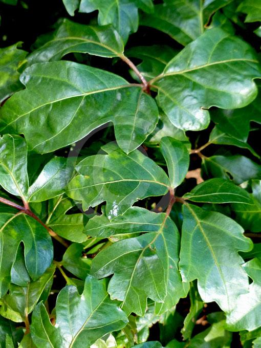 Grape ivy leaves