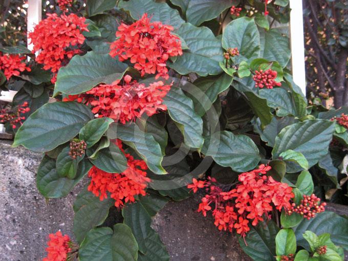 Clerodendrum Splendens Clerodendrum splendens...