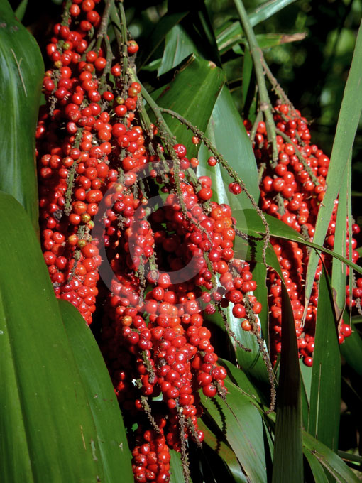 Cordyline Petiolaris Broad Leaf Palm Lily Information