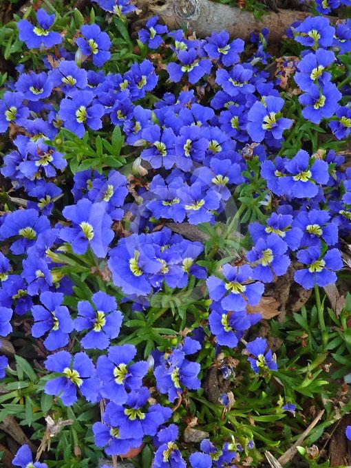 Dampiera Diversifolia Dampiera Information Amp Photos