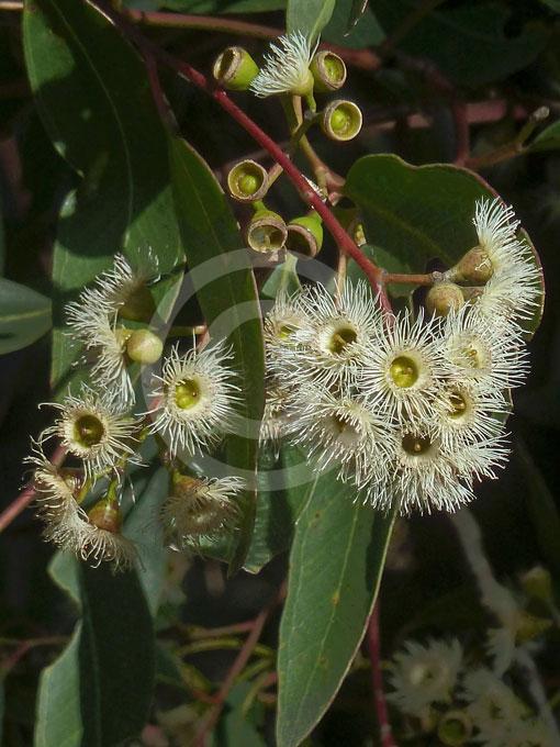 Eucalyptus Paniculata Grey Ironbark Information Amp Photos