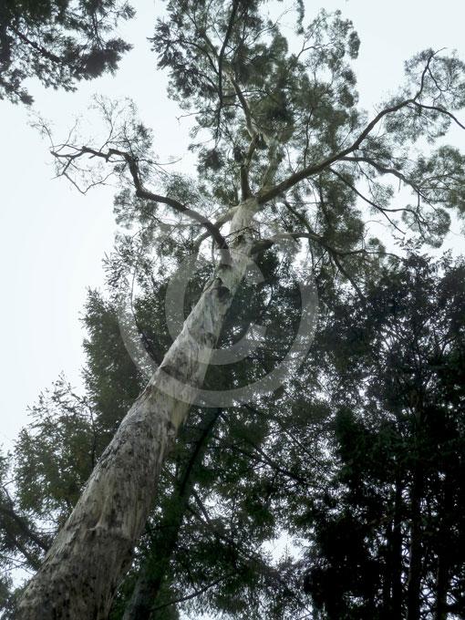 Eucalyptus Pulchella White Peppermint Gum Information Photos