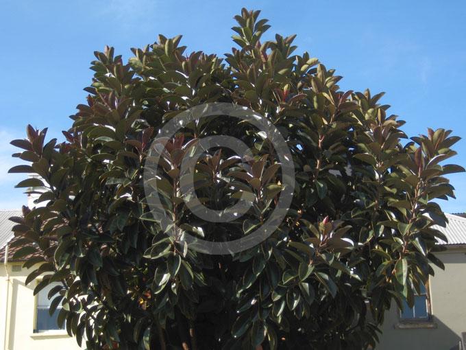 Ficus Elastica Burgundy Rubber Plant Information Amp Photos