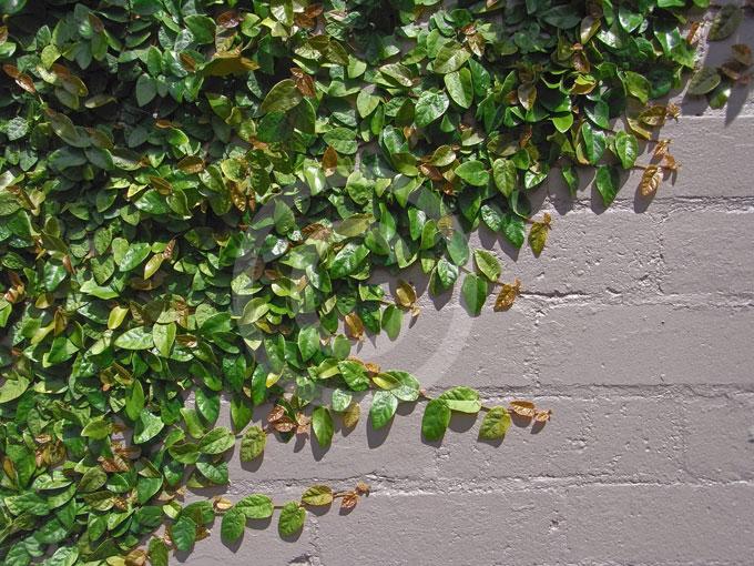 Ficus Pumila Creeping Fig Creeping Rubber Plant
