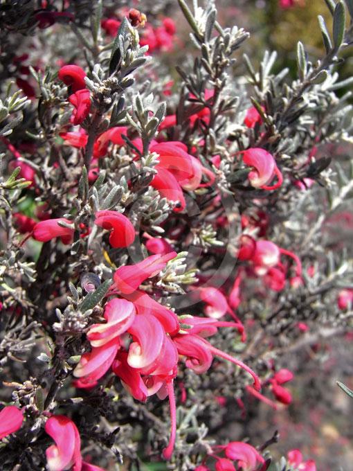 Grevillea Lavandulacea Lavender Grevillea Information