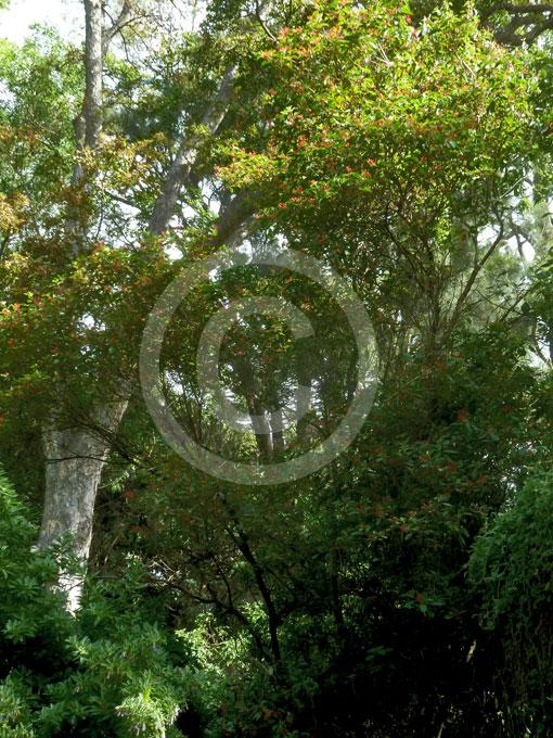 Garden Bush: Mexican Fire Bush, Scarlet Bush
