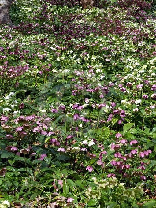 Hot Plant Hellebores: Lenten Rose, Hellebore Information