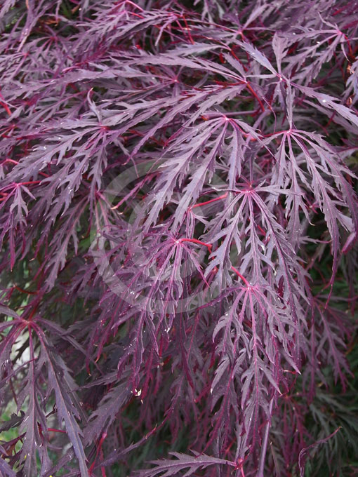 acer palmatum dissectum atropurpureum group purple lace. Black Bedroom Furniture Sets. Home Design Ideas