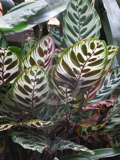 Calathea Makoyana Peacock Plant Cathedral Windows Brain Plant Information Amp Photos