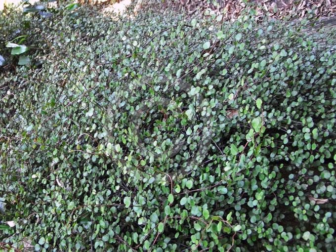 Muehlenbeckia complexa - Maidenhair Vine, Creeping Wire..