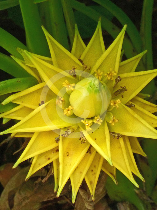 ensete lasiocarpum golden lotus banana chinese dwarf. Black Bedroom Furniture Sets. Home Design Ideas