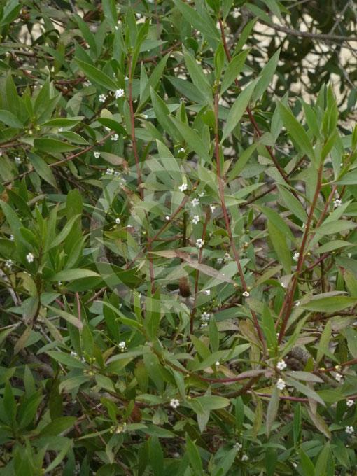 Myoporum Insulare Biog · Myoporum Insulare