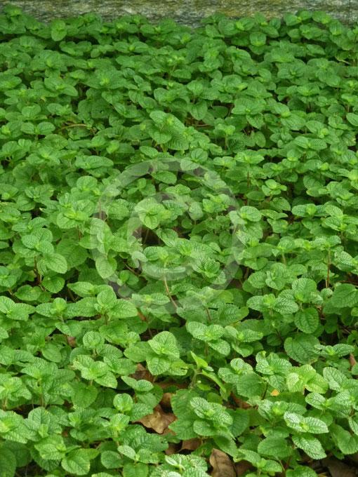 Pilea nummulariifolia creeping charlie information photos for Plante pilea