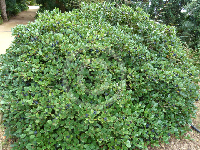 how to grow rhaphiolepis indica