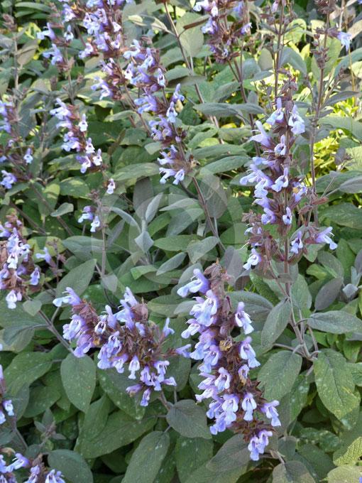 salvia officinalis purpurascens purple sage information photos. Black Bedroom Furniture Sets. Home Design Ideas