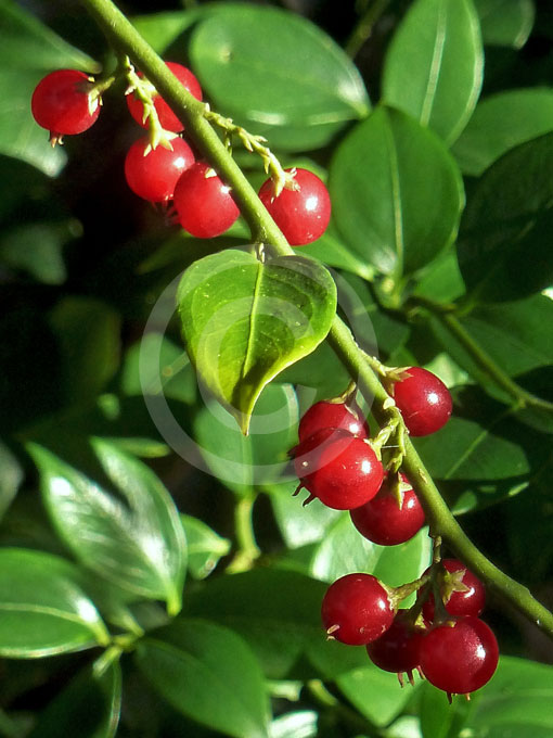 Sarcococca Ruscifolia Fragrant Sweet Box Information