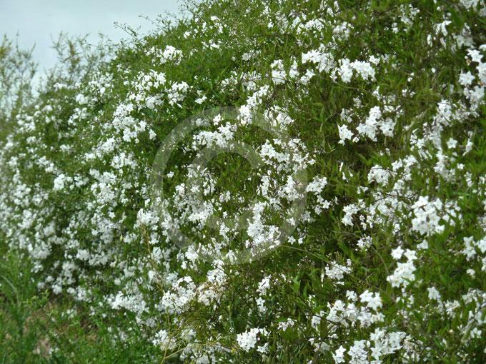 solanum laxum album white potato vine jasmine nightshade information photos. Black Bedroom Furniture Sets. Home Design Ideas