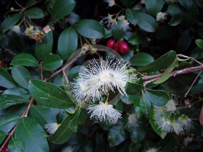 Syzygium Australe Brush Cherry Scrub Cherry Magenta
