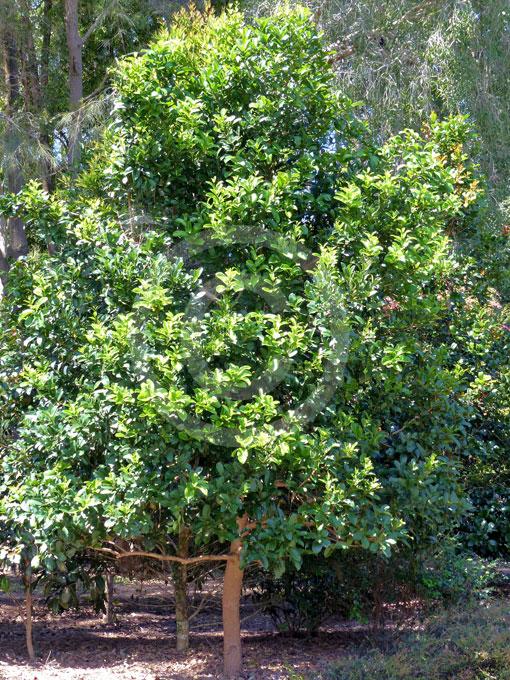 Syzygium Moorei Coolamon Durobby Information Amp Photos