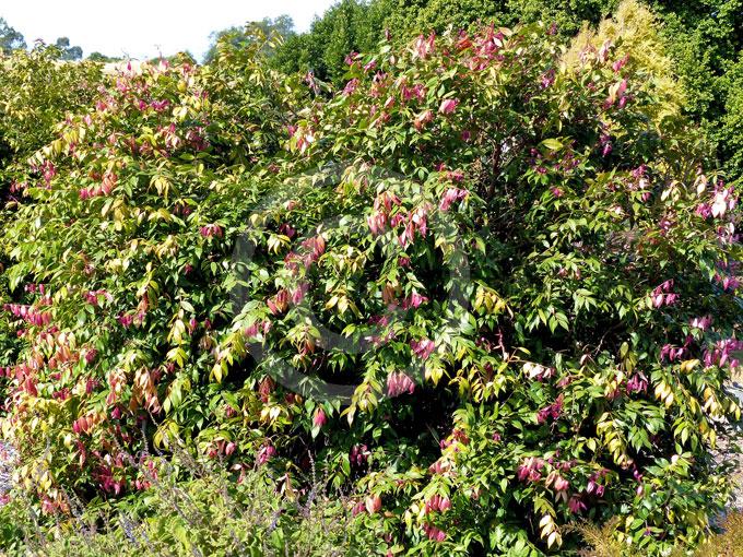 Syzygium Cascade Cascade Lilly Pilly Information Amp Photos