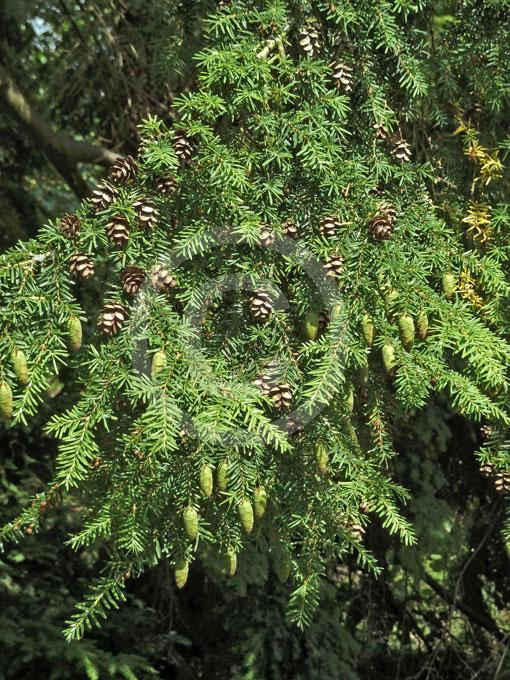 Tsuga heterophylla | Western Hemlock information & photos