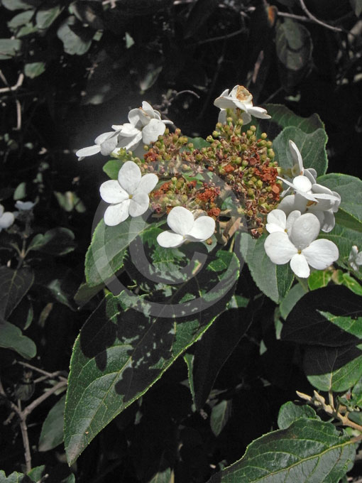 Viburnum Macrocephalum Keteleeri Chinese Snowball