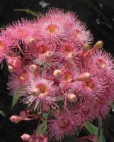 Corymbia Summer Beauty