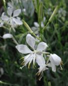 Gaura lindheimeri So White