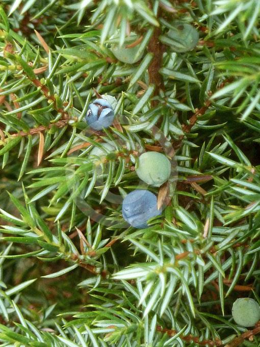 juniperus communis hibernica irish juniper information. Black Bedroom Furniture Sets. Home Design Ideas