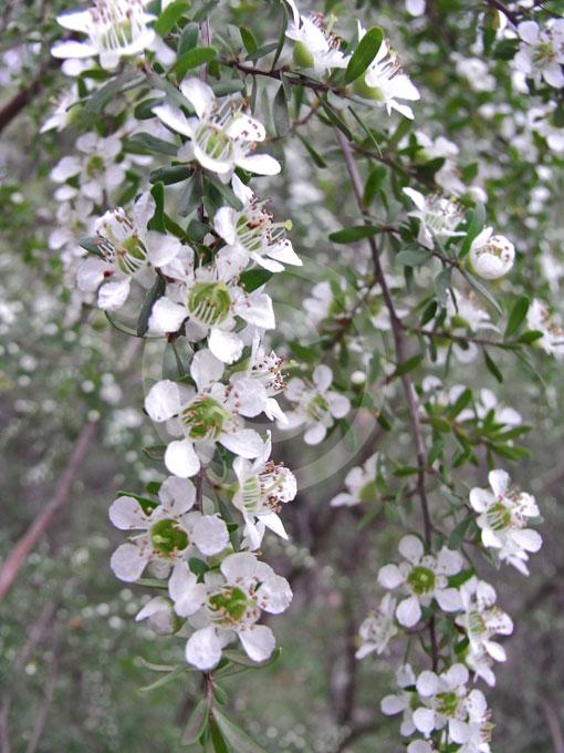 Leptospermum Polygalifolium Cismontanum Yellow Tea Tree