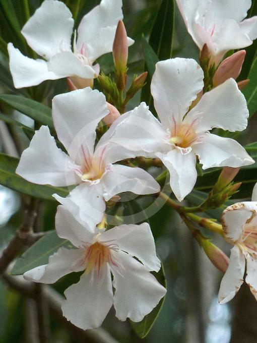 nerium oleander souvenir d 39 august roger oleander. Black Bedroom Furniture Sets. Home Design Ideas