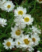 Abutilon Pictum Mardi Gras Mardi Gras Flowering Maple Painted