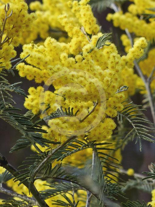 Acacia Dealbata Subalpina Silver Wattle Information Photos
