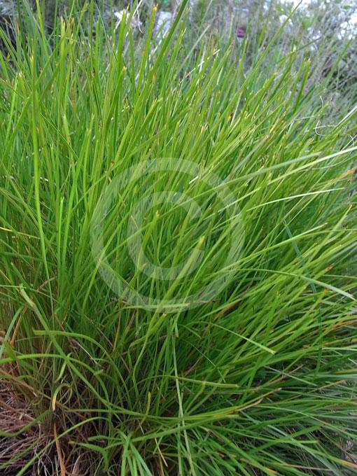 Lomandra Confertifolia Little Con Little Con Mat Rush