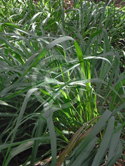 Cymbopogon Winterianus Java Citronella Grass Information Photos