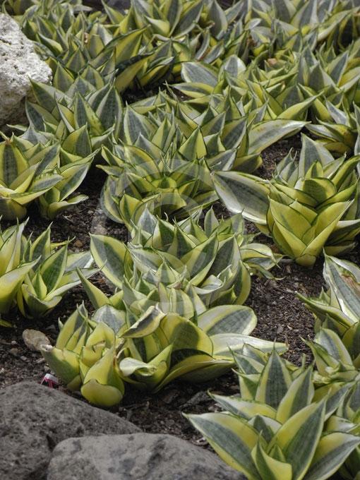 Sapin avec racine for Sapin d ornement jardin
