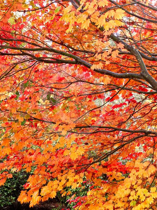 Acer Japonicum Vitifolium Vine Leaf Full Moon Maple Downy