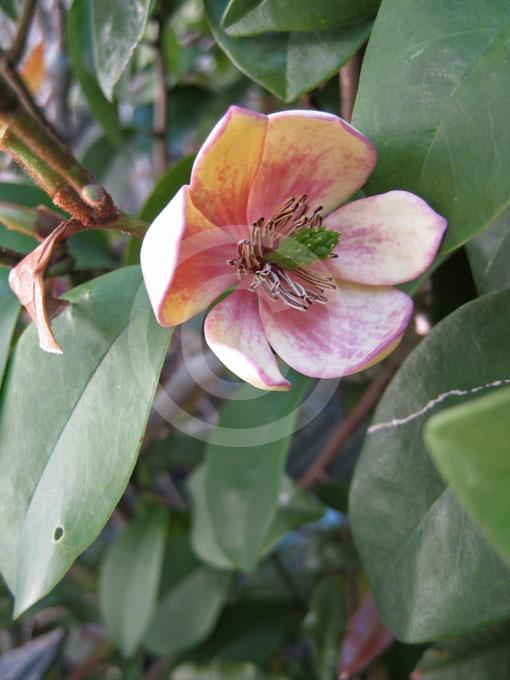 Magnolia Coco Coco Michelia Information Amp Photos