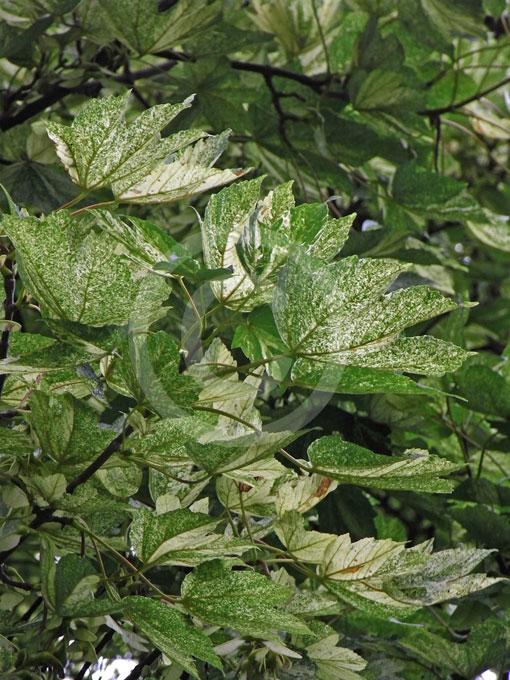 Acer Pseudoplatanus Flavo Variegatum Variegated Sycamore Maple
