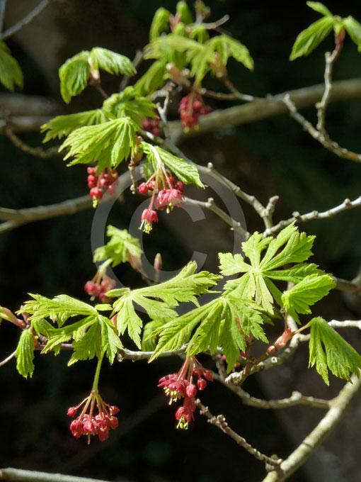 acer japonicum aconitifolium fern leaf full moon maple. Black Bedroom Furniture Sets. Home Design Ideas