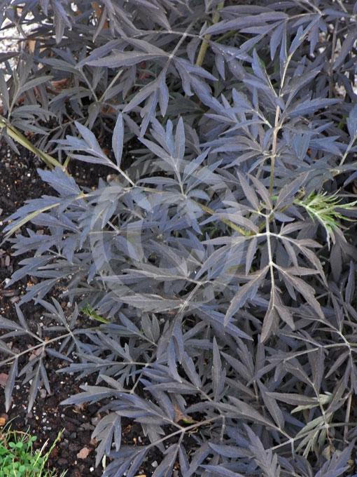 sambucus nigra porphyrophylla black lace black lace elderberry information photos. Black Bedroom Furniture Sets. Home Design Ideas