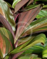 Cordyline fruticosa Willy's Gold