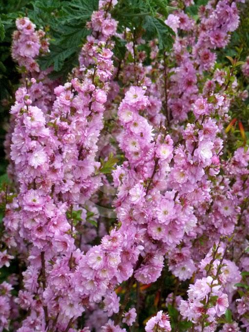 Prunus Glandulosa Sinensis Double Pink Dwarf Flowering