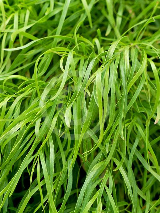 Acacia Cognata Fettuccini Fettuccini River Wattle Information Photos