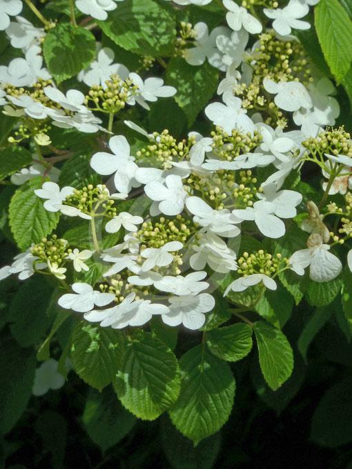 Viburnum Plicatum Tomentosum Summer Snowflake Double
